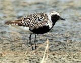 Plover, Black-bellied