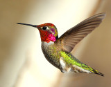 Hummingbird, Anna's