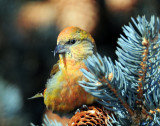 Crossbill  Red D-010.jpg