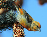 Crossbill  Red D-012.jpg