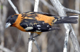 Grosbeak, Black-headed