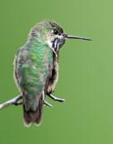 Hummingbird, Calliope