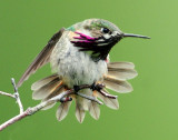 Hummingbird, Calliope--2009