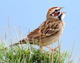 Sparrow, Lark--2009