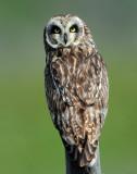 Owl Short-eared D-204.jpg
