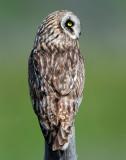 Owl Short-eared D-205.jpg