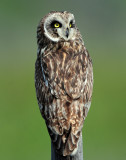 Owl Short-eared D-206.jpg