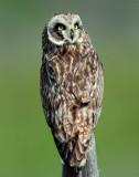 Owl Short-eared D-208.jpg