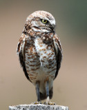 Owl Burrowing D-104.jpg