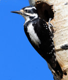 Woodpecker, Hairy