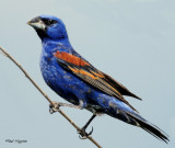 Grosbeak, Blue