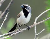 Sparrow, Black-throated