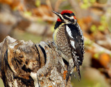 Sapsucker, Red-naped