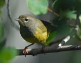 Warbler, MacGillivray's