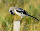 Shrike, Loggerhead (Juvenile)