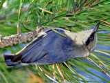 Nuthatch, Pygmy
