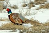 Pheasant, Ringneck