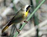 Yellowthroat, Common  (Male)