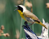 Yellowthroat, Common --Bear River FWMA