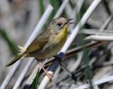 Yellowthroat, Common (Female)