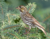 Finch, Cassin's  (Female)