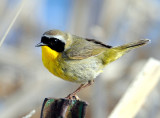 Yellowthroat, Common