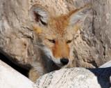 Desert Dog (Pups)--Coyote