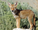Desert Dog (Pups)--Coyote
