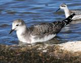 Gull, Sabine's