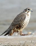Falcon, Prairie