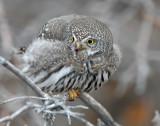 Owl, Northern Pigmy
