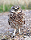 Owls, Burrowing