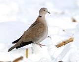 Dove, Eurasion Collared