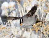 Sparrow White-crownedD-046.jpg