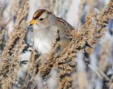 Sparrow White-crownedD-061.jpg