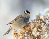 Sparrow White-crownedD-033.jpg