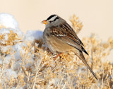 Sparrow White-crownedD-034.jpg