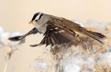 Sparrow White-crownedD-035.jpg