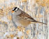Sparrow White-crownedD-037.jpg