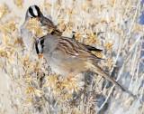 Sparrow White-crownedD-044.jpg