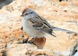 Sparrow, American Tree