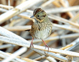Sparrow, Lincoln's