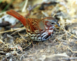 Sparrow (Red) Fox