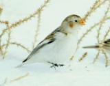 Bunting Snow D-062.jpg