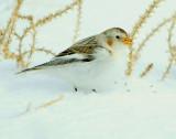 Bunting Snow D-061.jpg