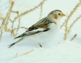 Bunting Snow D-060.jpg