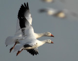 Comparison-Lesser Snow & Ross's Geese (not photoshopped)