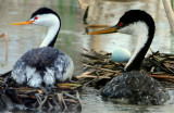 Grebe, Westerm and Clark's