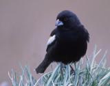 Bunting, Lark (male)