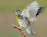 Meadowlark, Western